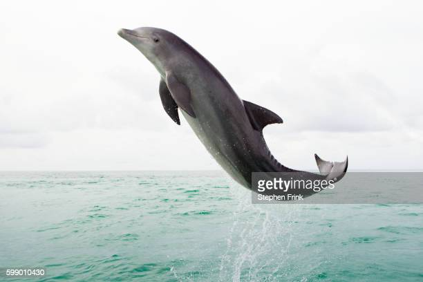 dolphin leaping in open ocean. - dolphin stock pictures, royalty-free photos & images