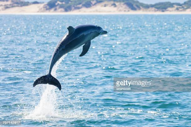 Dolphin leaping out of the ocean, Tasmania, Australia
