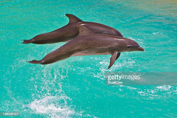 Dolphin pair leaping, Mexico