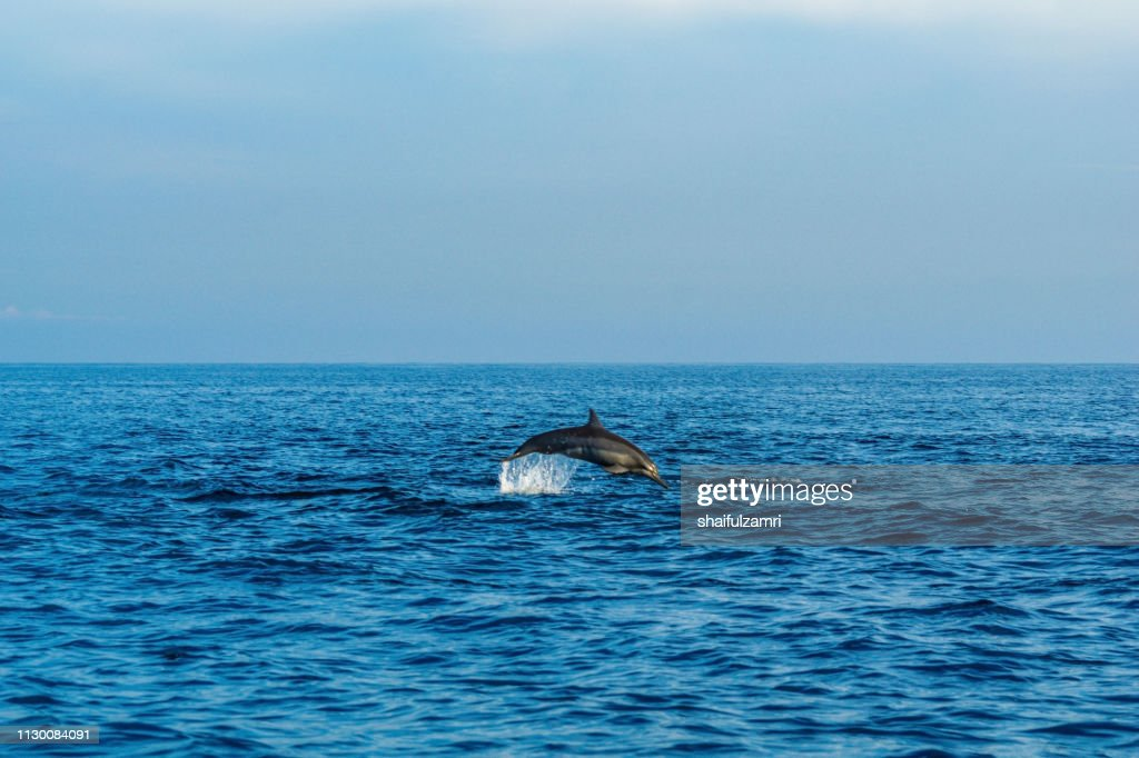 Dolphin play in open ocean morning at Lovina beach, Bali, Indonesia. : Stock Photo