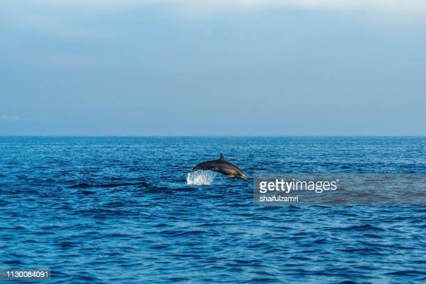 Dolphin play in open ocean morning at Lovina beach, Bali, Indonesia.