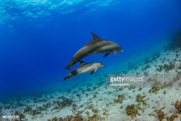 Dolphin  Sea life   Coral reef Underwater  Scuba diver point of view  Red sea Nature & Wildlife