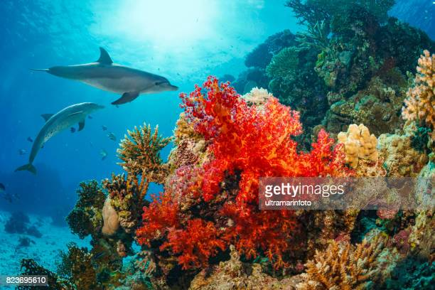 dolphin  sea life  school of dolphines  coral reef underwater  scuba diver point of view  red sea nature & wildlife - cnidarian stock photos and pictures