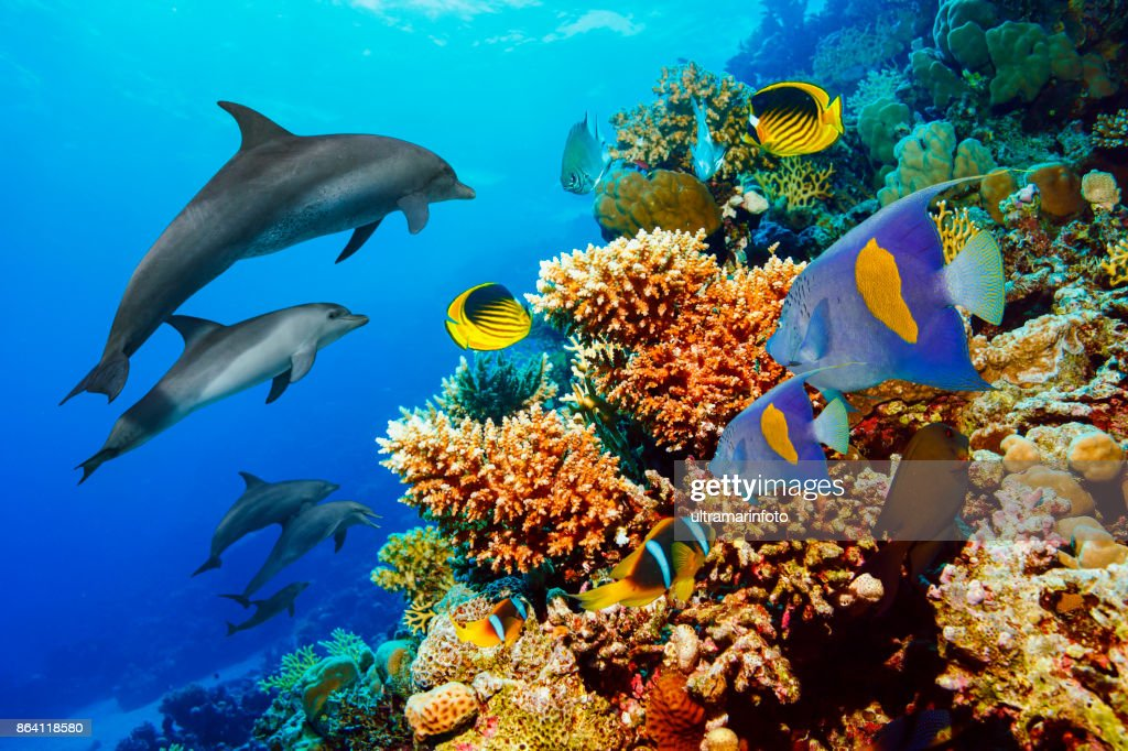 Dolphin  Sea life  school of dolphines  Coral reef Underwater  Scuba diver point of view  Red sea Nature & Wildlife : Stock Photo