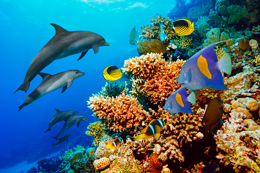 Dolphin  Sea life  school of dolphines  Coral reef Underwater  Scuba diver point of view  Red sea Nature & Wildlife 864118580