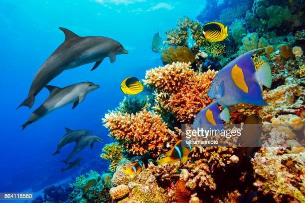 dolphin  sea life  school of dolphines  coral reef underwater  scuba diver point of view  red sea nature & wildlife - reef stock pictures, royalty-free photos & images