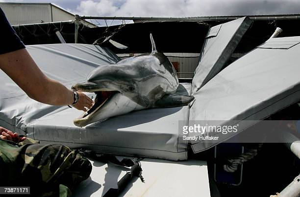 A dolphin sits on a padded sling before being transported to a boat during a training exercise at Naval Base Pt Loma on April 12 2007 in San Diego...