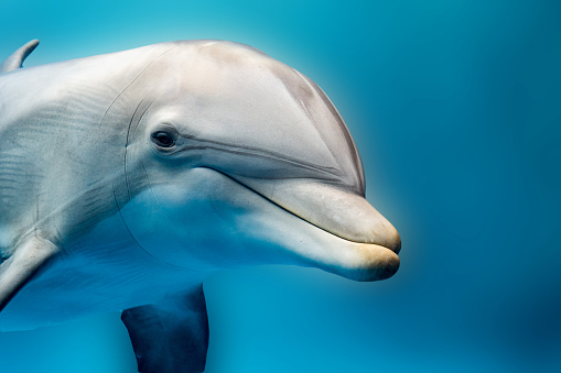 dolphin smiling eye close up portrait detail 539823828