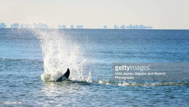 dolphin splashing near shore with horizon at fort myers beach, florida - fort myers beach stock pictures, royalty-free photos & images