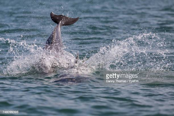 dolphin splashing water at cardigan bay - dolphin stock pictures, royalty-free photos & images