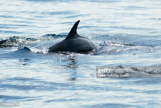 dolphin swimming in sea in bunaken national park - marek stefunko stock pictures, royalty-free photos & images