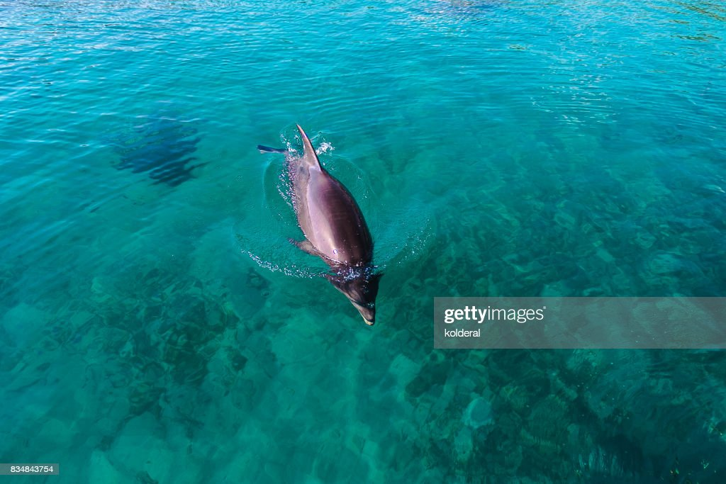 Dolphin swimming in teal water of the Red Sea : Stock Photo