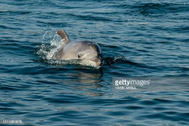 Dolphin swims in the Bosphorus strait, where sea traffic has nearly come to a halt on April 26, 2020 in Istanbul, as the city of 16 million has been...