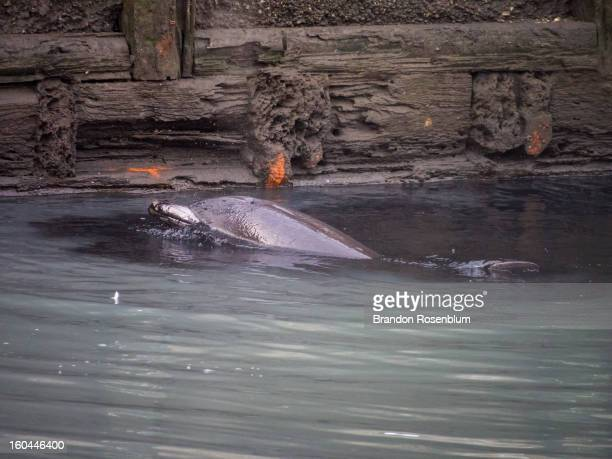 Dolphin swims in the polluted Gowanus Canal in Brooklyn