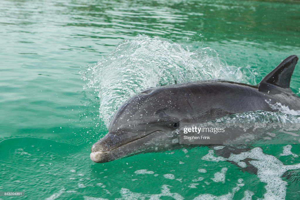 Dolphin swims in wake of boat. : Stock Photo
