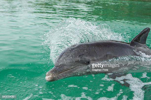 dolphin swims in wake of boat. - grand bahama stock photos and pictures