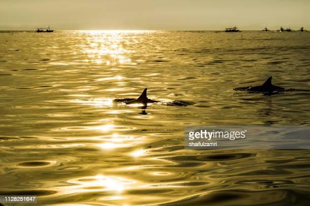 dolphin watching over sunrise at lovina beach. - shaifulzamri bildbanksfoton och bilder