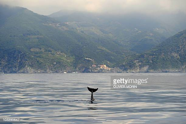 A Dolphin waves his tail near Lerici northwestern Italy in the gulf of Genova on August 11 2010 where scientists from the research department of the...