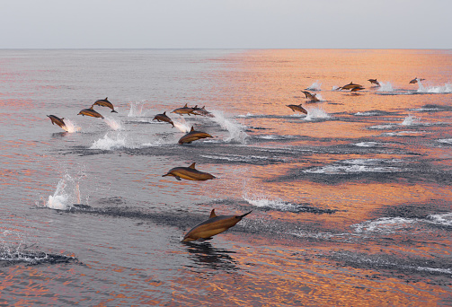 Dolphins are pursuing a flock of fish at sunset. Family of dolphins in the Indian Ocean, Maldives. 938231580