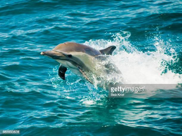 Dolphins at Play near Laguna San Ignacio