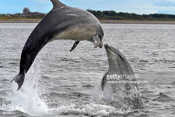 dolphins at play - dolphin stock pictures, royalty-free photos & images
