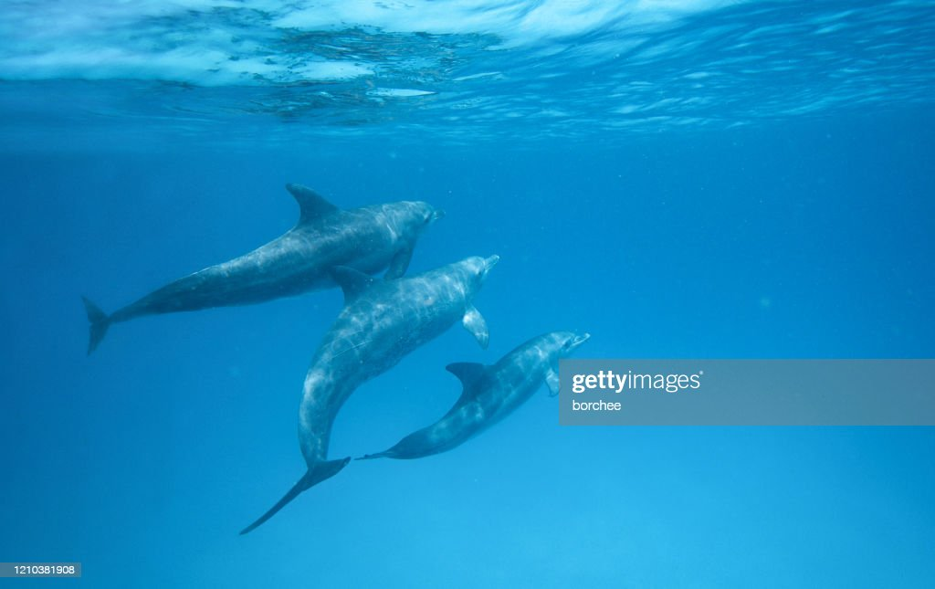 Dolphins In The Ocean : Stock Photo