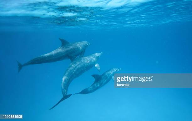 dolphins in the ocean - dolphin stock pictures, royalty-free photos & images