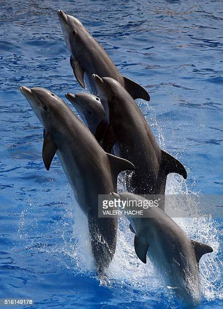Dolphins jump in the pool water of the Marineland theme park on the French riviera city of Antibes southeastern France on March 17 2016 / AFP /...