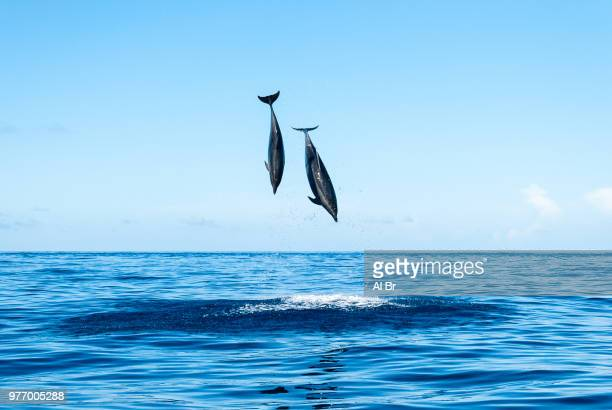 dolphins jumping above water, ponta delgada, azores, portugal - cetacea stock photos and pictures