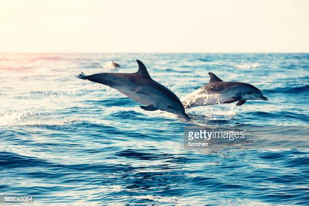 dolphins jumping from the sea - animal stock pictures, royalty-free photos & images