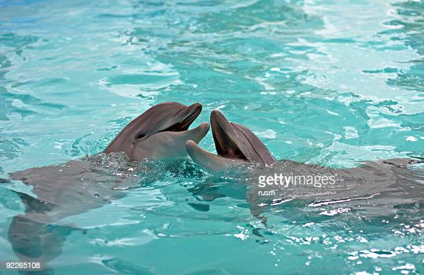 dolphins kiss - fish love stock photos and pictures