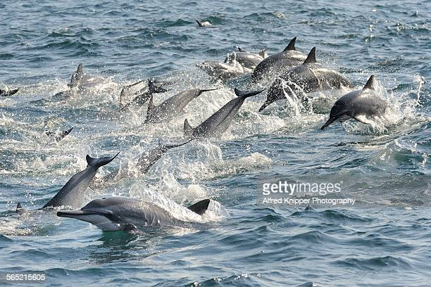 dolphins off the coast of muscat - gulf of oman photos et images de collection