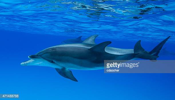 dolphins - cdascher stock pictures, royalty-free photos & images