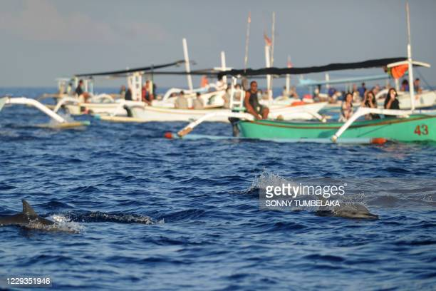 Dolphins swim alongside traditional boats transporting tourists during a dolphin-watching excursion at sunrise in the waters off Lovina Beach on Bali...