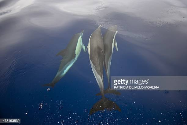 Dolphins swim in the Atlantic Ocean off the coast of Sao Miguel island in the Azores on June 2 2015 With its lush vegetation lakes resting on the...