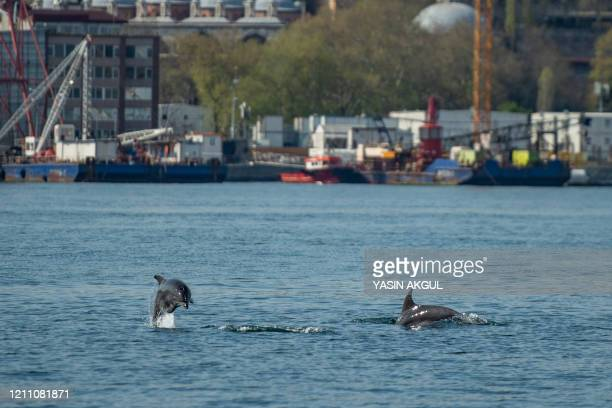 Dolphins swim in the Bosphorus strait, where sea traffic has nearly come to a halt on April 26, 2020 in Istanbul, as the city of 16 million has been...