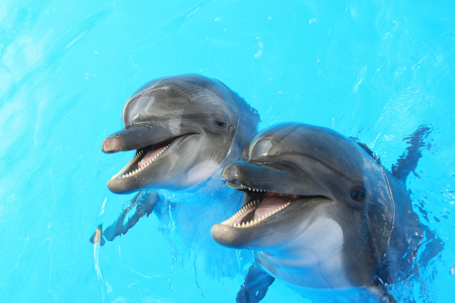 Dolphins swim in the pool 455606281