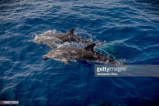 Dolphins swim off the coast on May 312018 in Ustica Island Sicily Italy