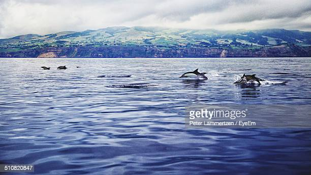 dolphins swimming in blue water - azores stock photos and pictures