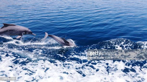 dolphins swimming in sea - gulf of oman photos et images de collection