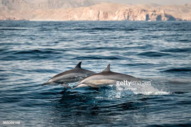 dolphins swimming in the gulf of oman, oman. - persian gulf stock-fotos und bilder