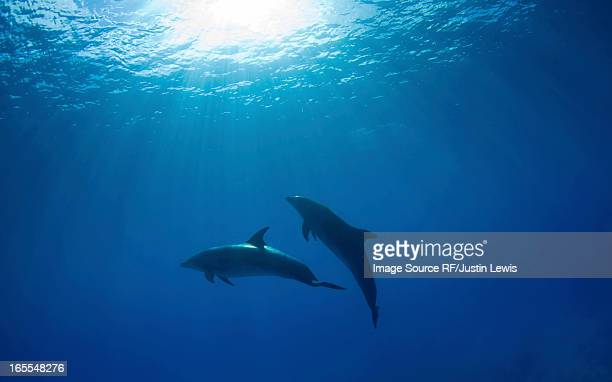 dolphins swimming underwater - dauphin photos et images de collection