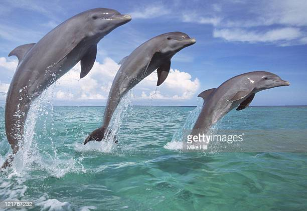 Dolphins, Tursiops truncatus, three leaping from surface of sea