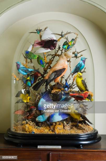 domed case of stuffed birds in the museum at wallington, northumberland - morpeth stock pictures, royalty-free photos & images