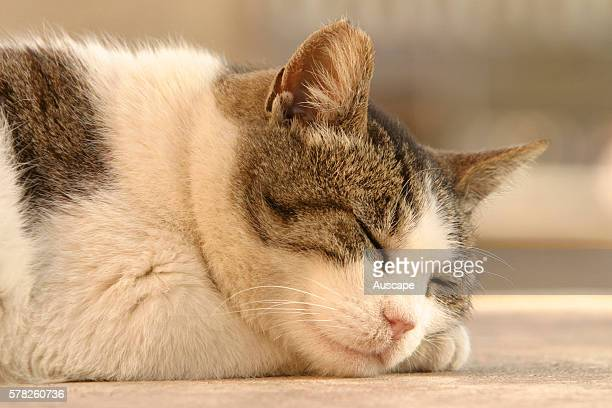 Domestic cat Felis catus sleeping