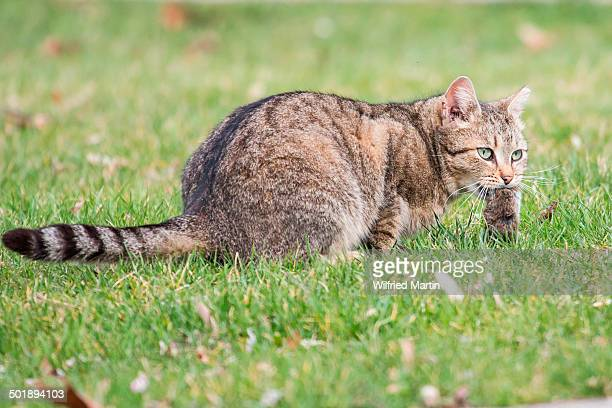 domestic cat -felis silvestris catus- with mouse prey, germany - field mouse - fotografias e filmes do acervo