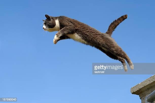 Domestic cat jumping