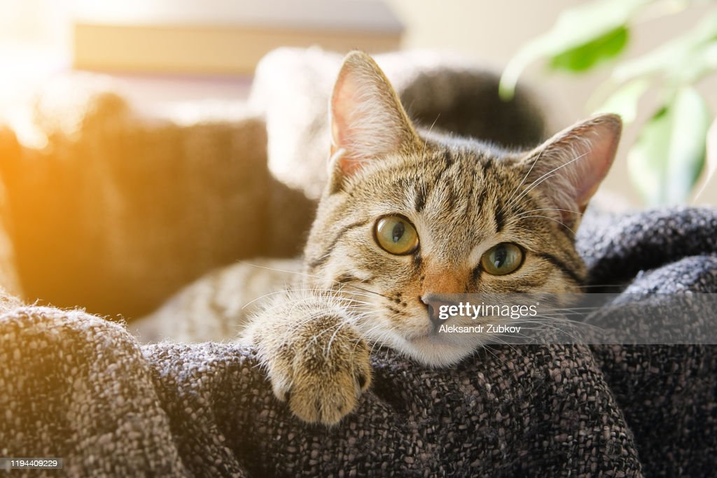 Domestic Cat Lies in a Basket with a Knitted Blanket, Looking At the Camera. Tinted Photo. : Stock Photo