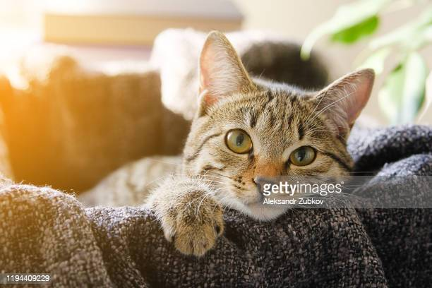 domestic cat lies in a basket with a knitted blanket, looking at the camera. tinted photo. - cats stock pictures, royalty-free photos & images