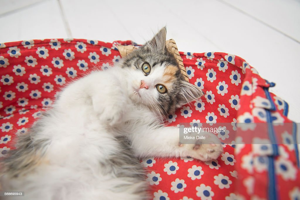 Domestic cat lying in basket : Stock Photo